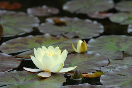 seerosen: flower in pond