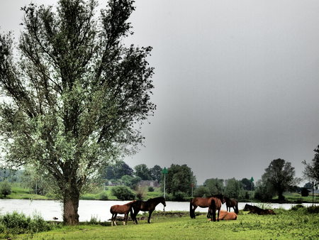 ijssel: Horses on the River