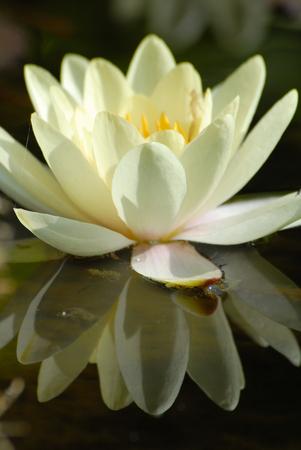 seerosen: flower