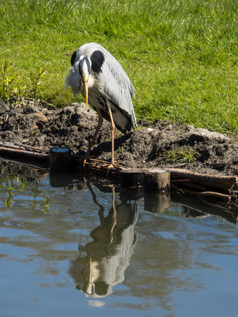 great: great blue heron