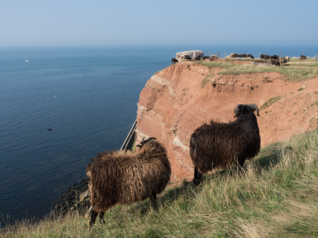 helgoland: sheep on helgoland Stock Photo