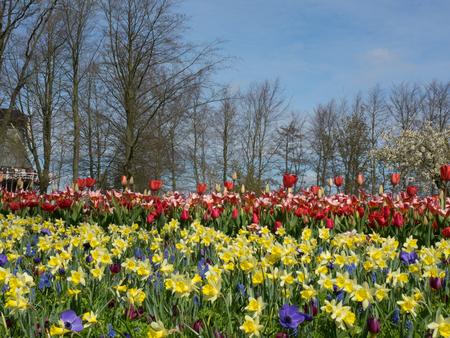 hemorragias: tulips Foto de archivo