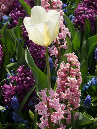 holland: tulip Stock Photo