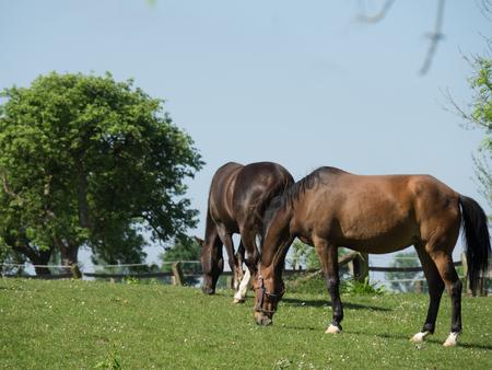 Horses in muensterland Reklamní fotografie - 80522243
