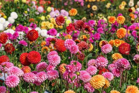 Colorfull dahlias 免版税图像 - 132199576