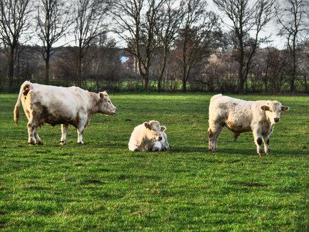 white cows on a meadow Standard-Bild