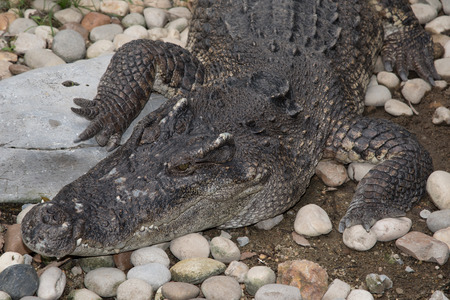 land animals: crocodile are ambush predators, waiting for fish or land animals to come close, then rushing out to attack