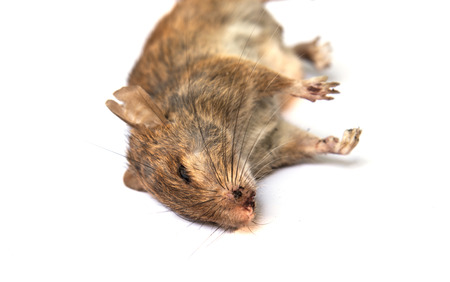 dead rat: Dead rat on white background
