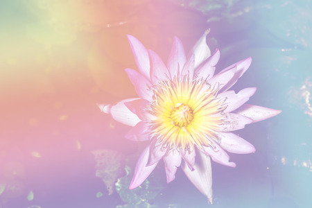 lotus effect: lotus flower soft focus and soft pastel tone effect Stock Photo