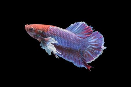 dragon swim: Betta fish isolated on black background, siamese fighting fish Stock Photo