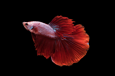 splendens: Red Halfmoon Betta splendens or siamese fighting fish isolated on black background included clipping path, Plakat Thailand