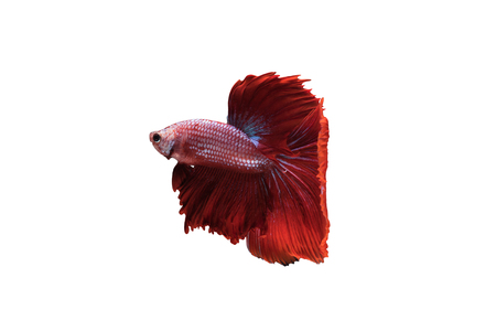 splendens: Red Halfmoon Betta splendens or siamese fighting fish isolated on white background included clipping path, Plakat Thailand Stock Photo