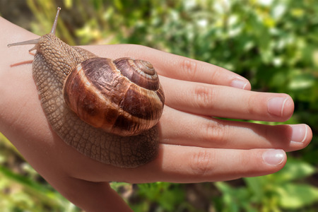 snail: Curiose grape snail slowly crawling on human hand with bright grass field in the background. Stock Photo
