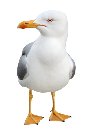 Curious seagull bird standing on its webbed feet and looking at camera, isolated on white background.