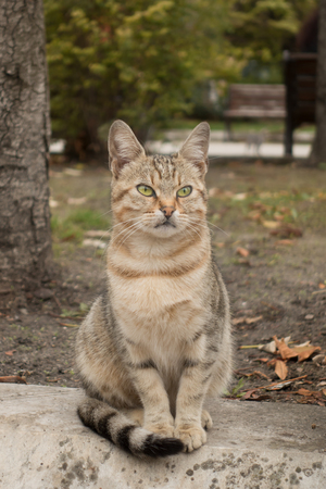 stray: Beautiful green-eyed tabby stray cat sitting in the autumn park. Stock Photo