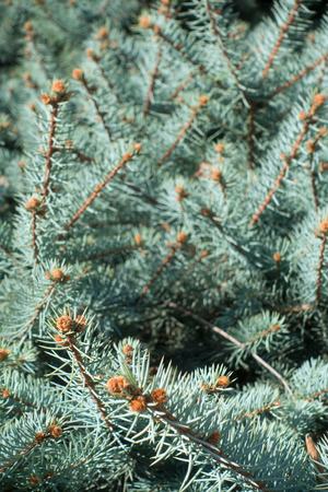 Closeup of blue spruce branch background, vertical Imagens
