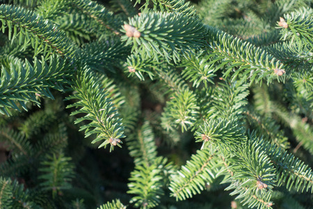 Closeup of fresh green spruce background