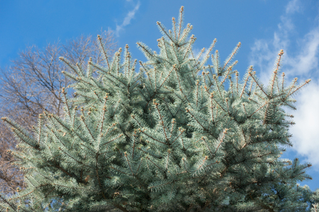Spruce tree against blue sky, winter background
