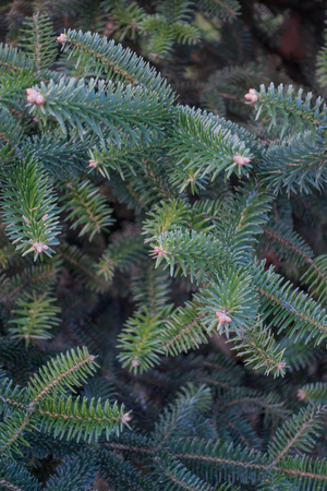 Closeup of green spruce tree branch background, vertical