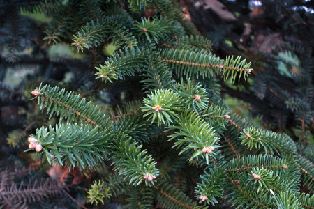 Closeup of fir tree branch background Imagens
