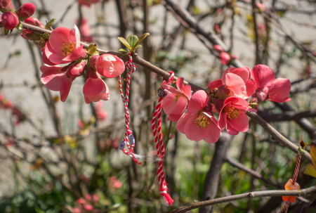 Blossoming branch of Japanese flowering quince with traditional bulgarian Imagens