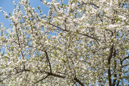 Blossoming cherry tree against the blue sky, nature background.