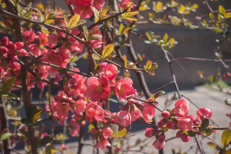 Blossoming branch of Japanese flowering quince (Chaenomeles japonica). Imagens