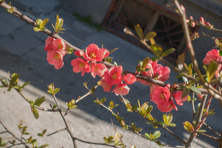 Blooming branch of red flowering quince (Chaenomeles japonica).