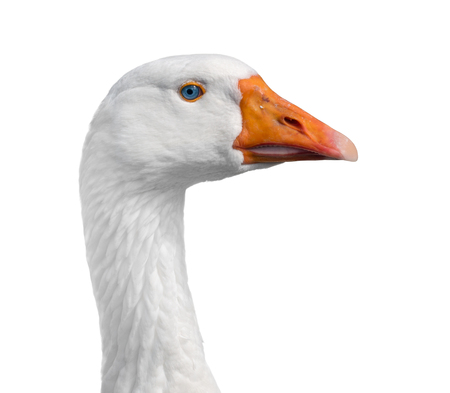 Blue-eyed domestic goose looks to the right, close-up, isolated on white background.
