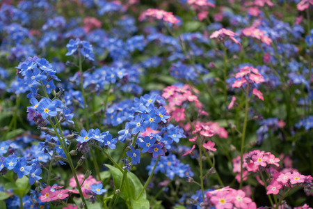Beautiful  pink and blue forget-me-not flowers in green grass.