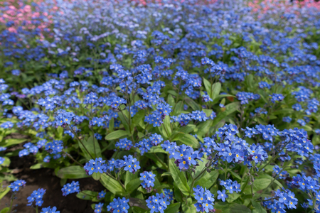 Beautiful blue field of forget-me-not flowers, floral background. Imagens