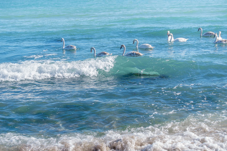 Sea swans flock swim in aquamarine waves of the Black Sea in sunny winter day.