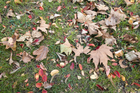 Dry autumn leaves on green grass, flat lay autumn background. Imagens
