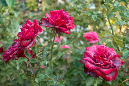 Beautiful red roses infected with powdery mildew. Stock Photo - 112441103