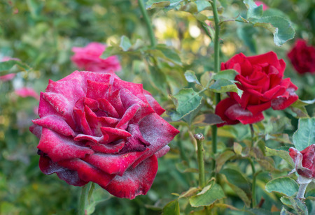 Beautiful red rose infected with powdery mildew. Imagens