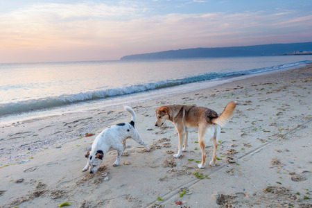 Two mongrel stray dogs walk on a deserted sea beach at dawn. Imagens