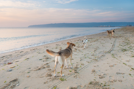 Mongrel stray dogs on the deserted sea beach at dawn.
