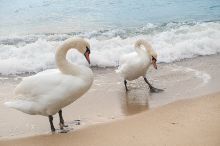Pair of white sea swans on the Black Sea shore.