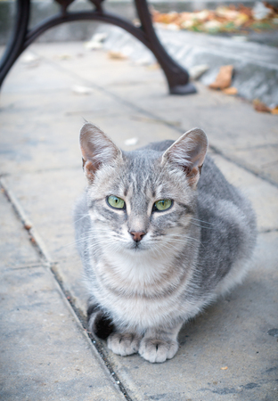 Moody gray tabby cat sitting in the autumn street and looking at camera. Lost or abandoned.
