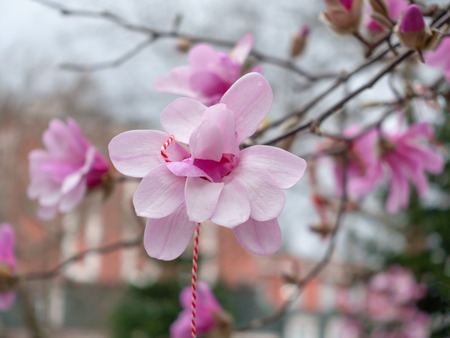 Blossoming pink magnolia branch with traditional bulgarian spring talisman martenitsa. Stock Photo