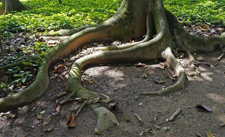 Panama rubber tree roots (Castilla elastica)