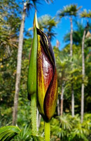 Exotic flowering plant (Urospatha sagittifolia), Minas Gerais, Brazil Stock Photo