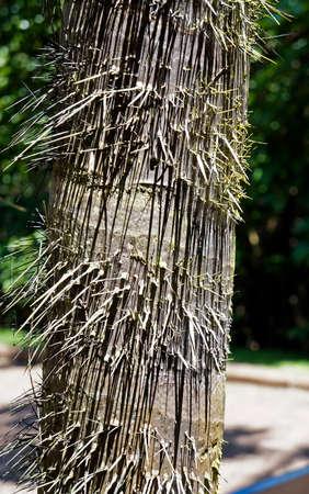 Palm tree trunk with thorns, Minas Gerais, Brazil