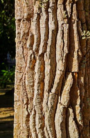 Tree trunk texture (Aspidosperma macrocarpon)