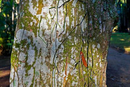 Crabwood tree trunk or Andiroba tree trunk (Carapa guianensis), Rio, Brazil