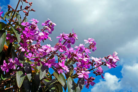 Purple princess flower (Tibouchina granulosa), Diamantina, Brazil