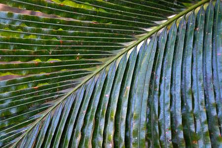 Sago palm leaf (detail), Minas Gerais, Brazil