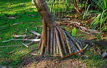 Common screwpine roots (Pandanus utilis), Rio de Janeiro, Brazil