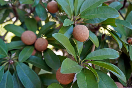 Sapodilla fruits (Manilkara zapota) on tree, Rio de Janeiro, Brazil Reklamní fotografie