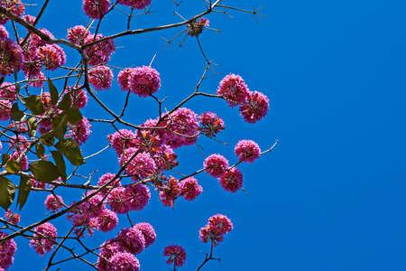 Pink ipe or pink trumpet tree flowers, (Handroanthus impetiginosus), Rio
